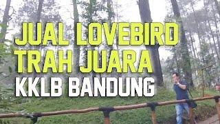 BRANDY WATCH : Ade Sulistio KKLB Jual Lovebird Trah Juara Ngekek Kasar Panjang