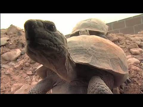 the way of life and survival of a desert tortoise