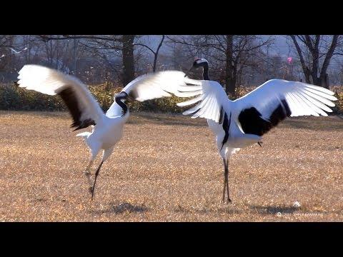 【北海道の絶景】タンチョウの舞  Japanese crane dancing