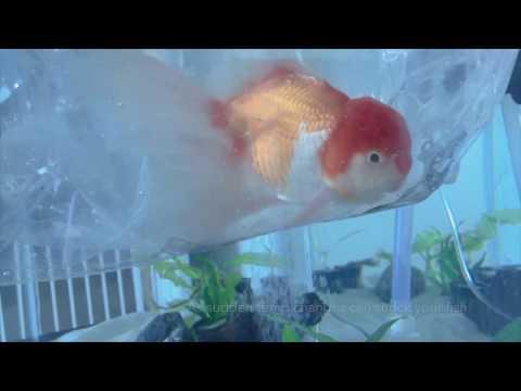 Oranda Goldfish Unboxing - Zhao's Fancies