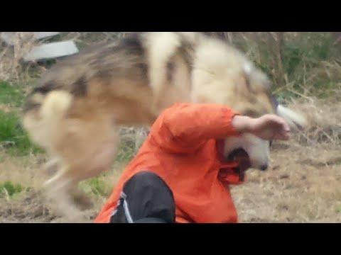 【閲覧注意】人間が狼犬に襲われるとこうなる!