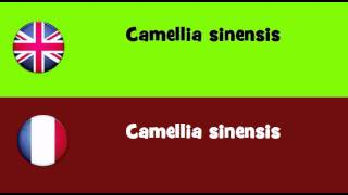 FROM ENGLISH TO FRENCH = Camellia sinensis
