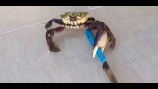 Killer Crab | Crab with Knife | Funny Animal Videos 2016