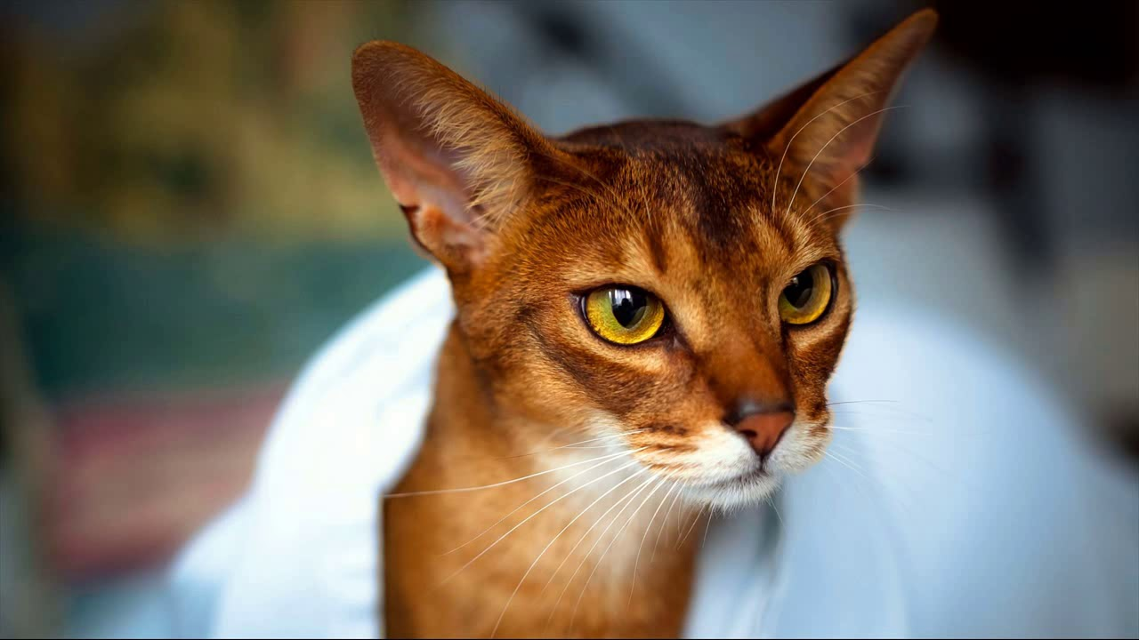 abyssinian cat rescue california - YouTube