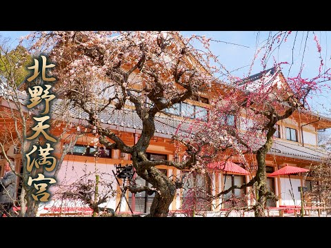 KYOTO【Plum blossoms】Kitano Tenmangu Shrine 2020. #北野天満宮 #4K