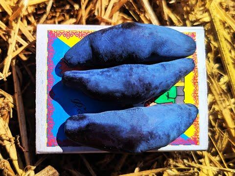 Вопрос: Есть ли опыт выращивания жимолости Синий утес и Сильгинка?
