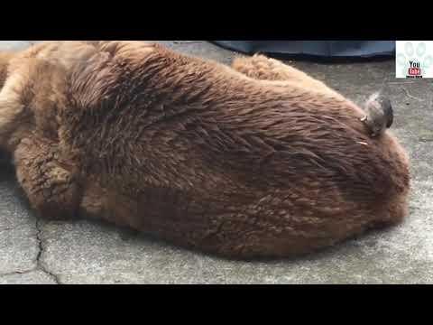 Bird Steals Dog's Fur For Nest