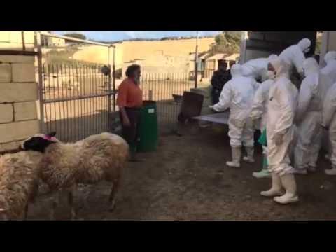 Gianni Attard: Culling of sheep in Gozo