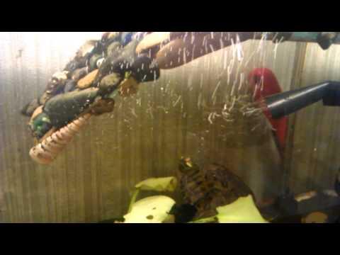 верховка в аквариуме видео