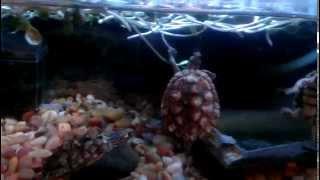 Turtle devouration.