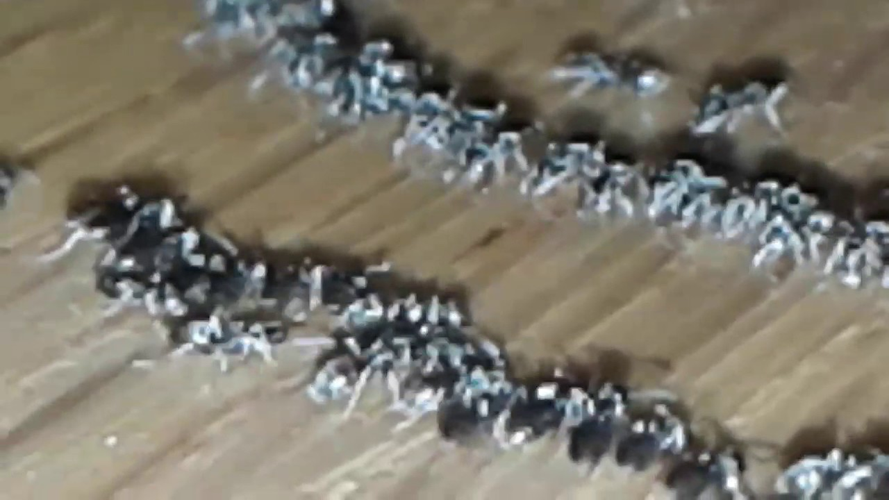 amazing sugar ants clean up a spill and leave - youtube