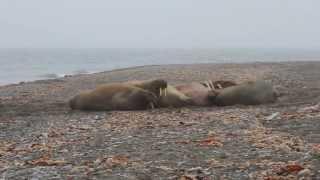 funny, wild Walrus wakes up! Poolepynten, Svalbard