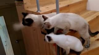 Как три тайских котика играли с дразнилкой на ступеньках лестницы! Тайские кошки   это чудо! Funny C