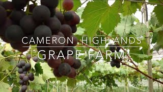 cameron highlands grapes farm harvesting season