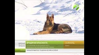 Нападение собак на ребенка в Салехарде. Рассказ очевидца