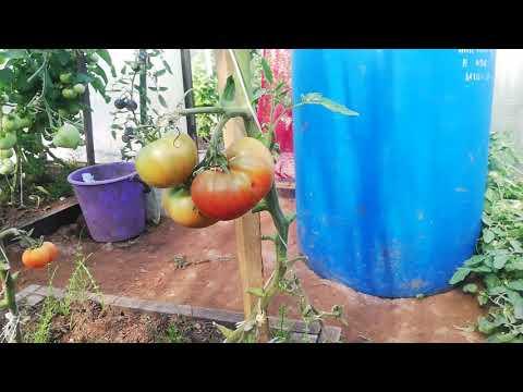 Очень урожайный сорт томата Бизон Черный.