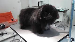 After bath.Moo,Black Pekingese,boy.Owner's Ig @riesizu ペキニーズの...