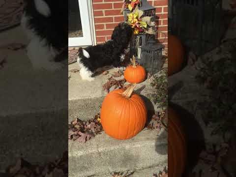 About Havanese, AKC, TN, KY, VA, OH, GA, AL, FL, SC, VA, NC, non-shedding, small dog