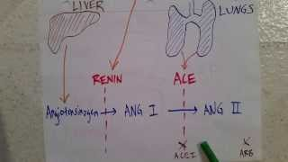 Introduction to the RAAS: Renin-Angiotensin-Aldosterone-System