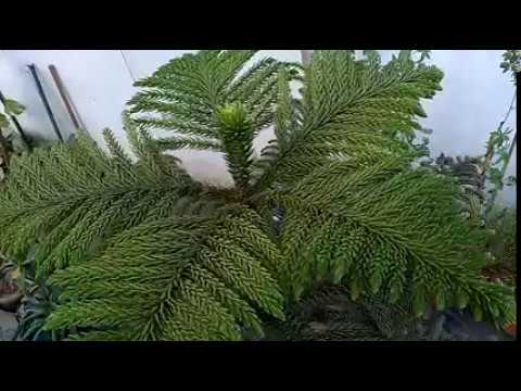 How Long Does It Take A Christmas Tree To Grow.How To Grow A Christmas Tree In Pot Fast And Easy Youtube