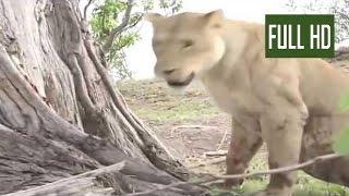 【動物の対決】ライオンとヒヒの対決。大どんでん返し!衝撃映像!!!!! ...