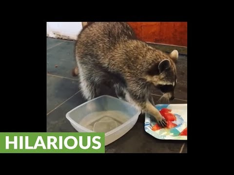 Cat scolds raccoon for playing in water bowl