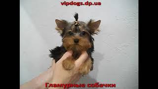 Купить щенка йоркширского терьера. Гламурные собачки- Девочка №86(видео)