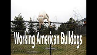 Hines American Bulldogs  Yard video #1
