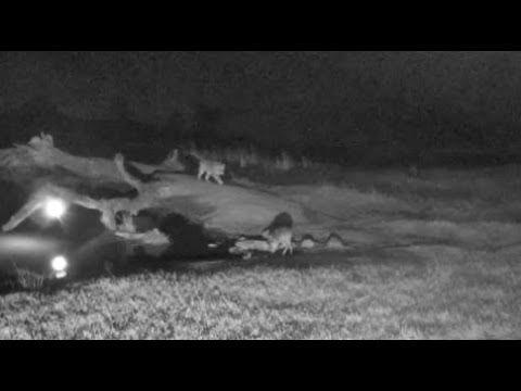 Djuma: Hosana male leopard makes LIVE kill on cam - 22:02 - 07/15/18