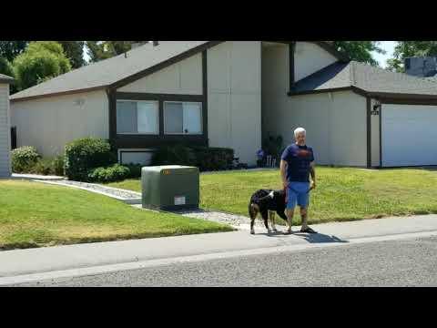 Buddy - Bernese Mountain Dog Heel Command
