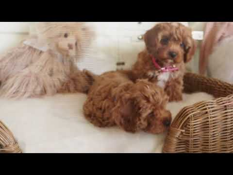 Thea's Toy Cavoodles A & C - Pocket Puppies