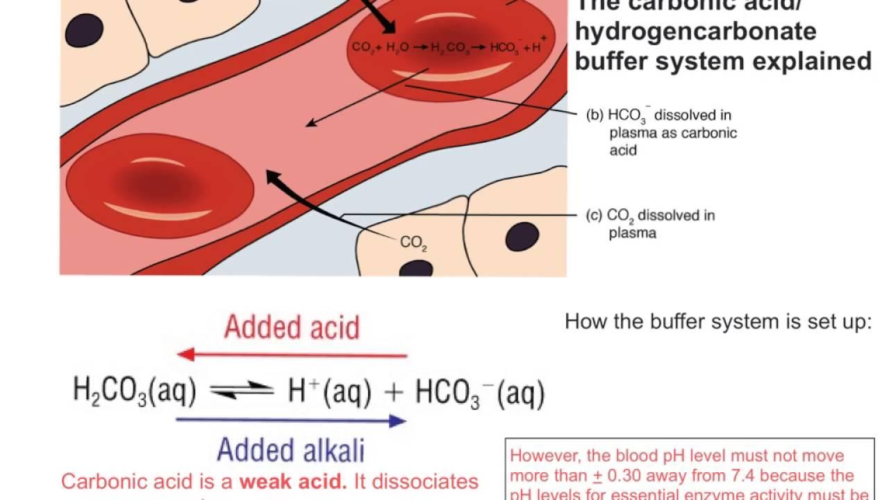 Bicarbonate Buffer System Blood