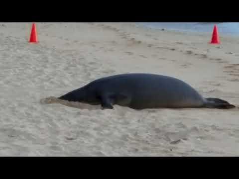 Kaiwi (RK96) the sand facialist -- Hawaiian Monk Seal