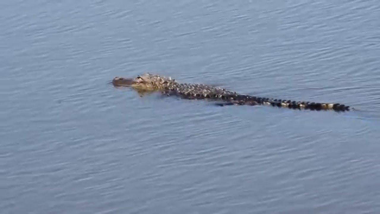 Alligators swimming in Huntington Beach State Park, South Carolina