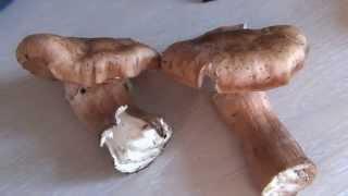 Опята гигантские ножка 4 см толщиной / Грибы встречающиеся вместе с опятами / Опята на зиму