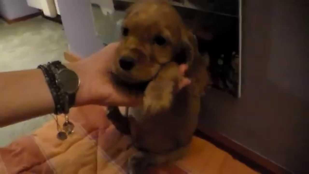 Stupendi Cuccioli Di Cocker Spaniel In Vendita Youtube