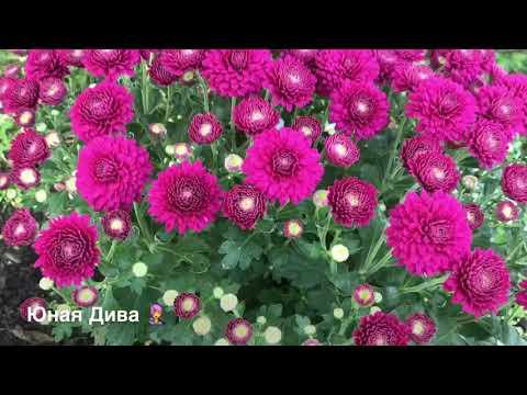 LC434:Женскийклуб. Дача. Дачные зарисовки. 22.07.18 на даче Посадили хризантемы. Вишня 🍒