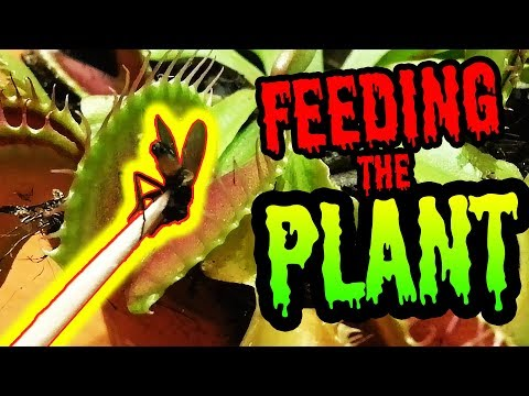 Feeding of carnivorous plant - Dionaea Muscipula eating fly
