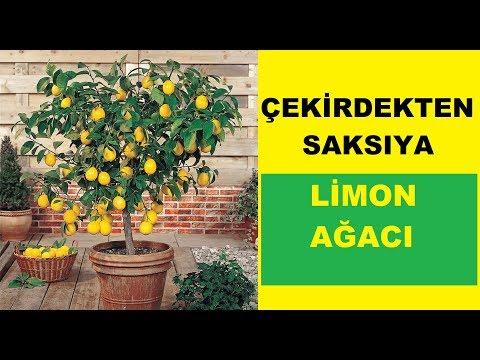 Limon Çekirdeği Çimlendirme ve Limon Ağacı Yetiştirme