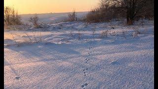 Охота на крупного зайца зимой 2018