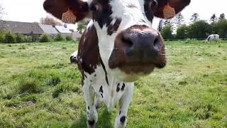 vache normande gourmande
