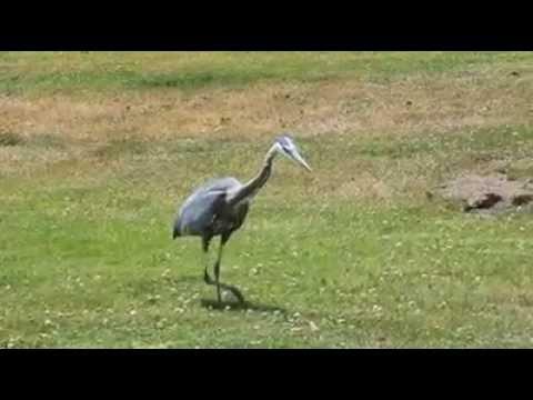 blue heron eats gopher