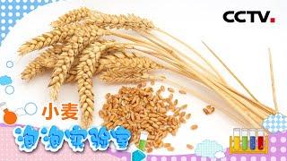 [智慧树]泡泡实验室:小麦|CCTV少儿