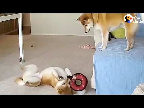 Hilarious Dogs Siblings Home Alone CAUGHT ON CAMERA | The Dodo