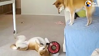 Funny Dog Siblings Home Alone CAUGHT ON CAMERA | The Dodo