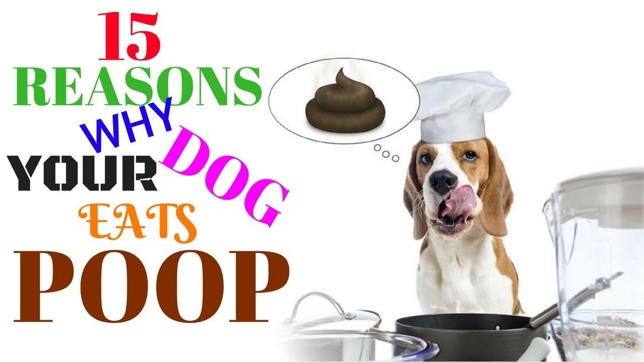Dog Starting Eating Poop