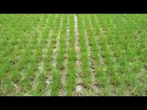 Video Pertanian Mendong di Desa Sendangsari Minggir