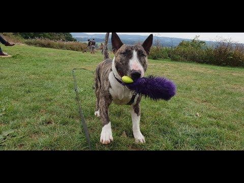 Baloo - 3 Year Old English Bull Terrier - 4 Weeks Residential Dog Training