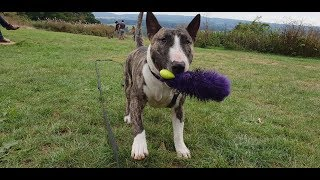 Baloo - 3 Year Old English Bull Terrier - 4 Weeks Residential Dog Training