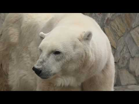 Uslada(Белая медведица Услада) the Polar Bear, a Tribute to her greatness, at Leningrad Zoo